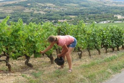 20180827 17 - Grape picking Santenay