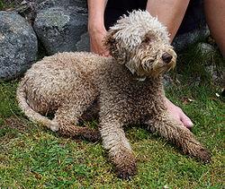 Aaron - Truffle Dog