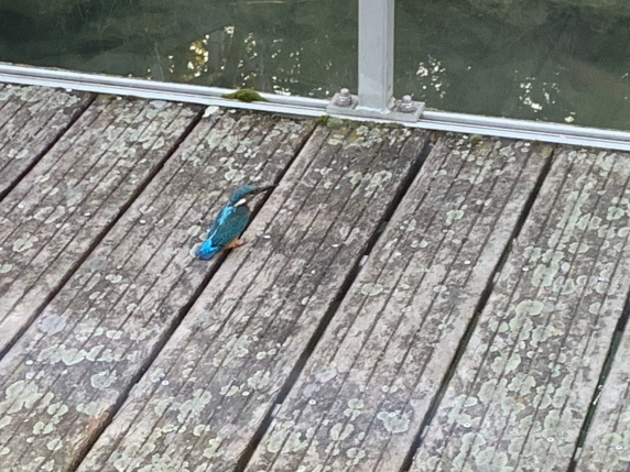 20190909 01 Kingfishers at Andancette