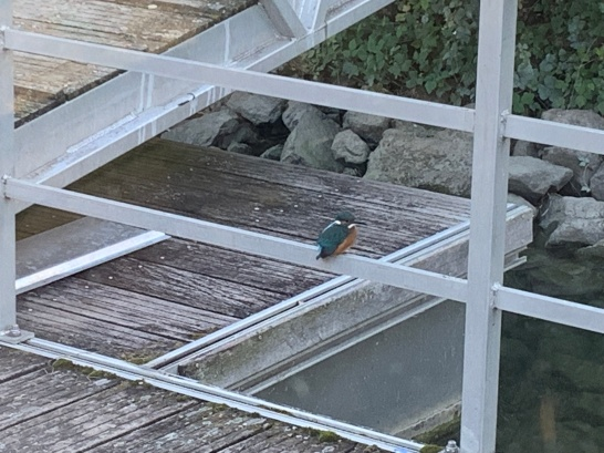 20190909 02 Kingfishers at Andancette