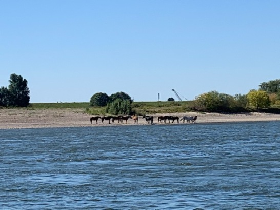 20200805 01 Horses on a Rhein beach